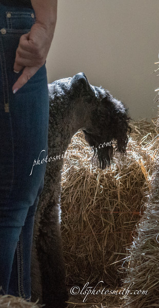 First Barn Hunt Trial Novice Sat  AM+OPEN2014