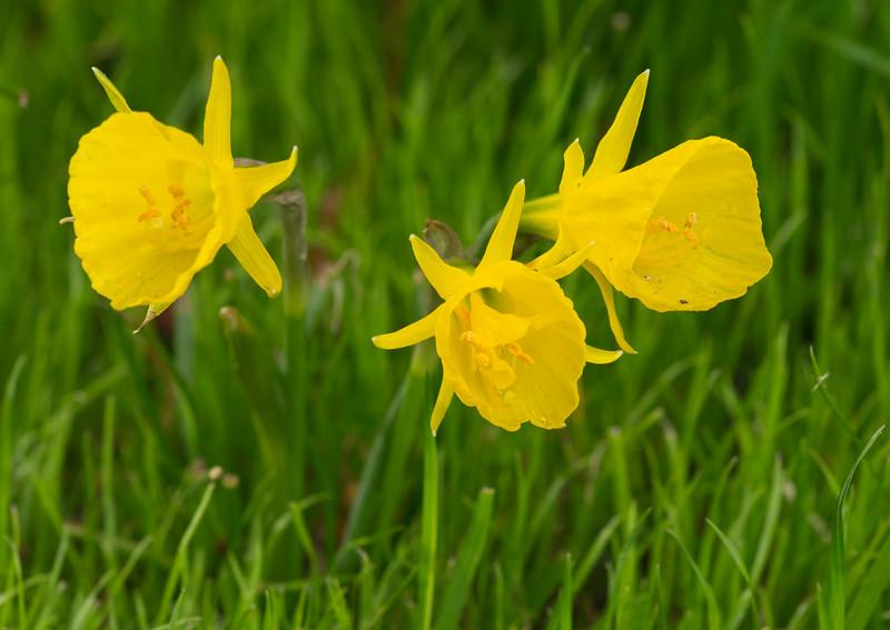 Narcissus 'Petticoat' 03