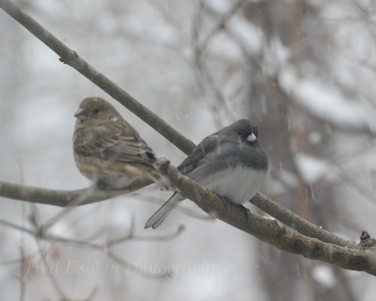 Sparrow Junco.JPG