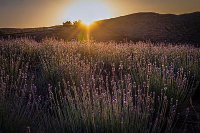Lavender Fields in Sage