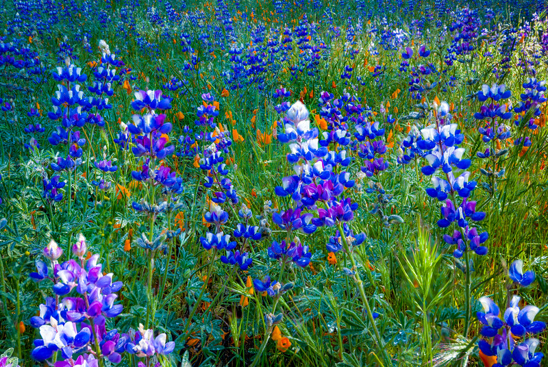 Lupines and Poppies on Figueroa Mountain 2