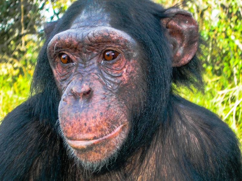 Chimp-1.jpg