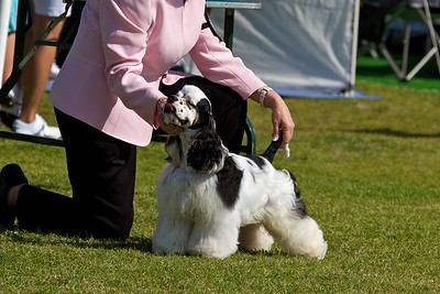 .Other American Cocker Spaniels