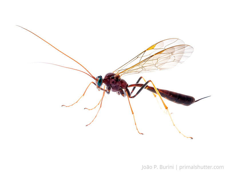 Parasitoid wasp (Ichneumonidae) Atlantic forest (rock outcrop vegetation) Itatiaia National Park, Itamonte MG, Brazil March 2018