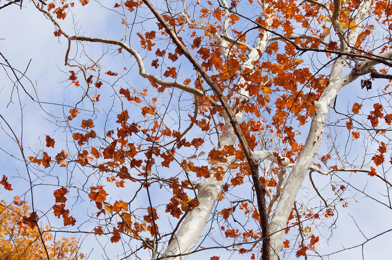 Sugar maple leaves and trunks 2, Great Smoky Mountains, Tennessee