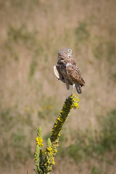 Burroughing Owls