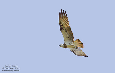 OspreysFamily Pandionidae