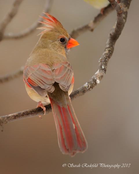 Cardinalcc.jpg