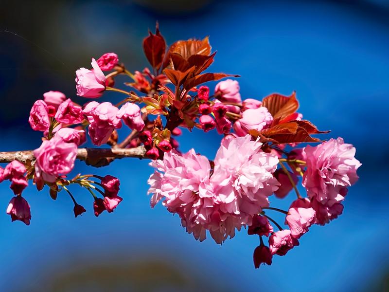 Golden Gate Park Cherry Blossoms