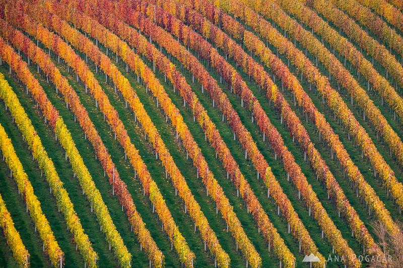 Kostanjevica vineyards - late Oct, 2020
