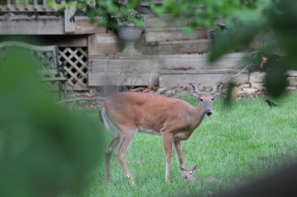 Doe with Fawn in backyard, Lenexa, Ks 5.26.2013
