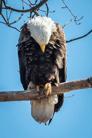 Manassas Bald Eagles