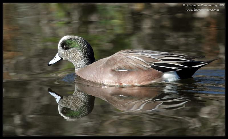 American Wigeon drake, Santee Lakes, San Diego County, California, December 2011