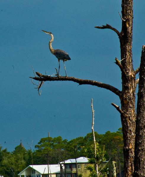 Great Blue Heron striking a pose.