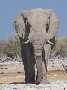 Huge elephant in Etosha