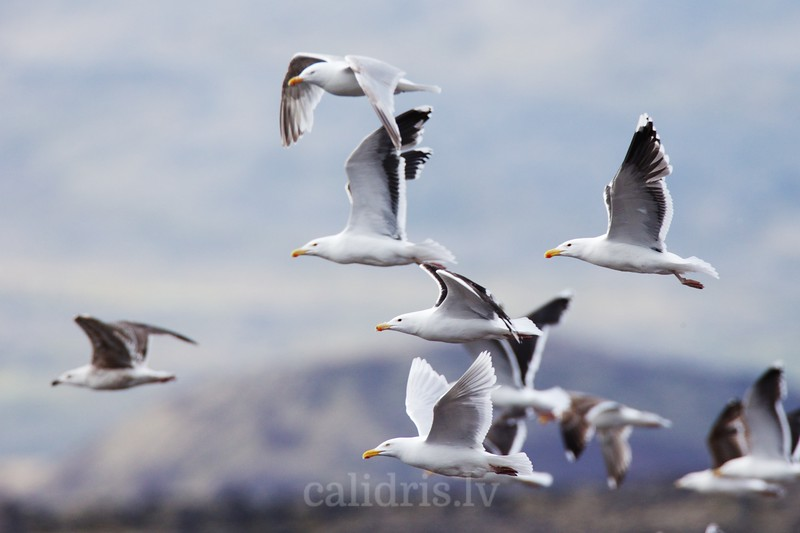 Great Black-backed gulls fly