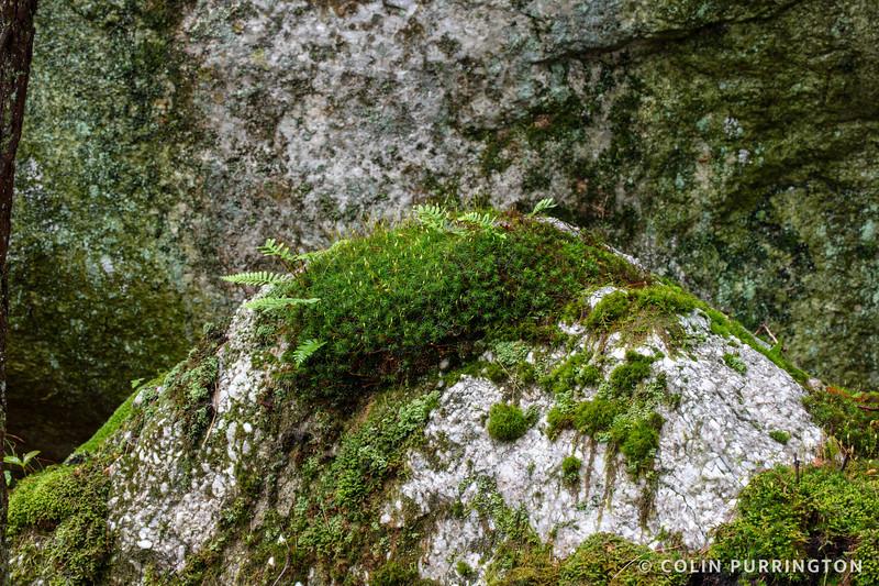 Haircap moss on rock