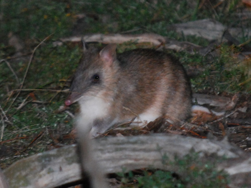 Eastern-barred Bandicoot.JPG