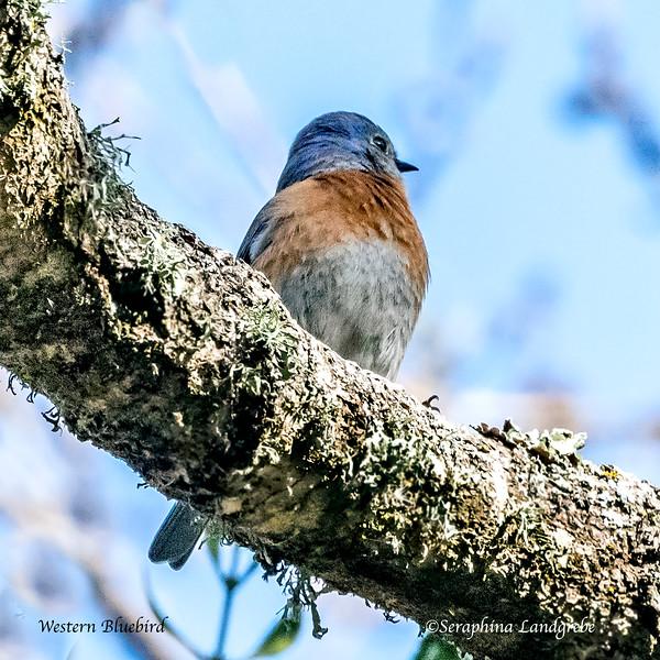 _DSC3820Western Bluebird D500.jpg