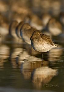 Shorebirds / Sandpipers