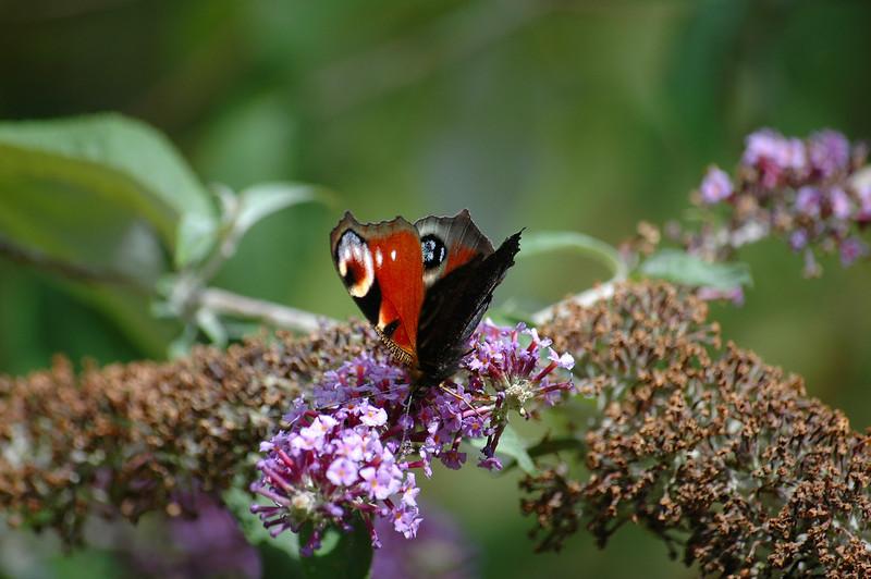 Project_20060813Peacock Butterfly0008.JPG