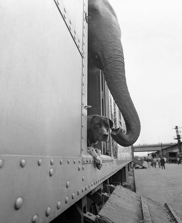 . An elephant and a dog peer apprehensively from a freight car before debarking at the Harlem River freight yards in New York City, April 1, 1963. The animals were on the Ringling Brothers and Barnum and Bailey Circus train arriving in New York for the opening of the Circus at Madison Square Garden on April 3. (AP Photo/Goldberg)