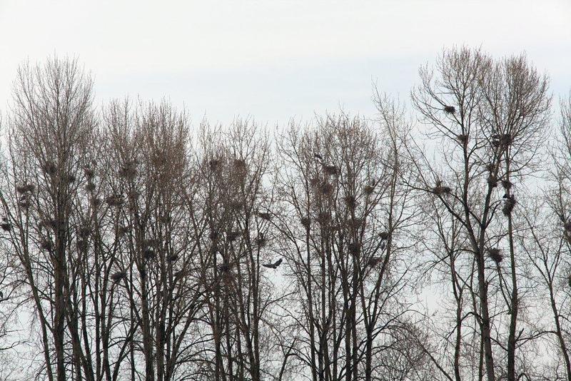 GB heron rookery 3179.jpg