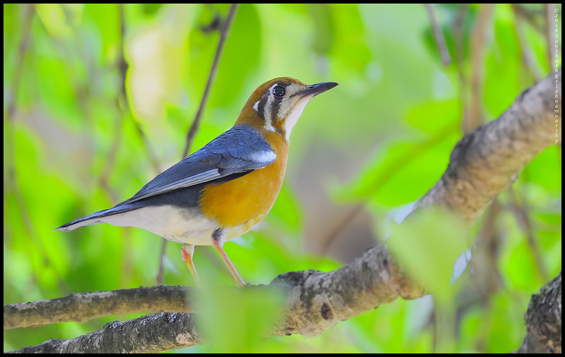 Orange headed ground thrush......