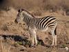 Zebra Foal 3