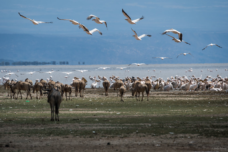 Lake Manyara African white pelicans and flamingoes-2341.jpg