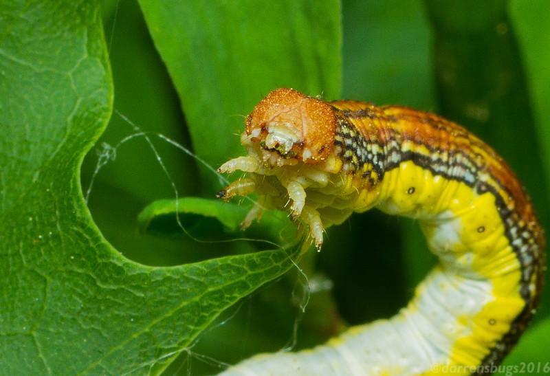 Linden Looper Moth caterpillar, Erannis tiliaria, from Iowa.