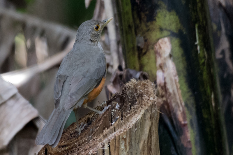 19-Sept Brazil Birds-6806.JPG