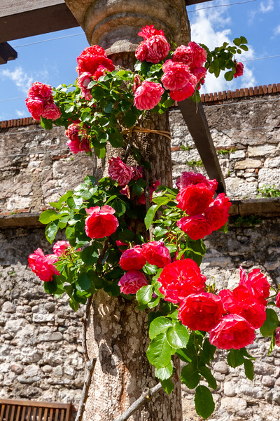 Pink roses growing up on a trellis at Buonconsiglio Castle