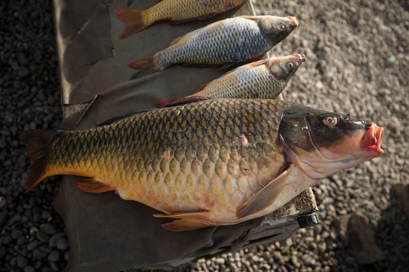 Fresh fish from Lake Tharthar for sale.