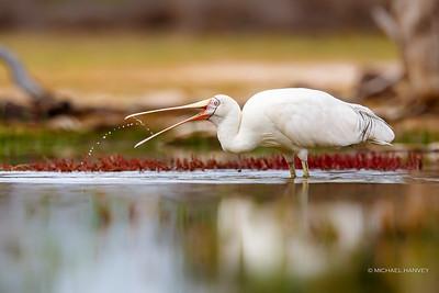 Spoonbills, Ibis, Cormorants, Darters, Pelicans