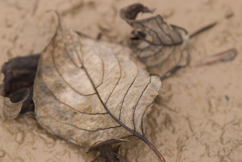 leaves-in-mud.jpg