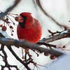 Red Cardinal eating Winterberry in Winter
