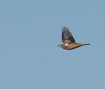 Kulorastas (Turdus viscivorus)
