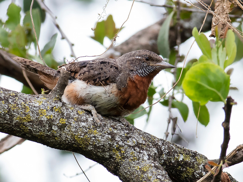 Rufous-necked Wryneck