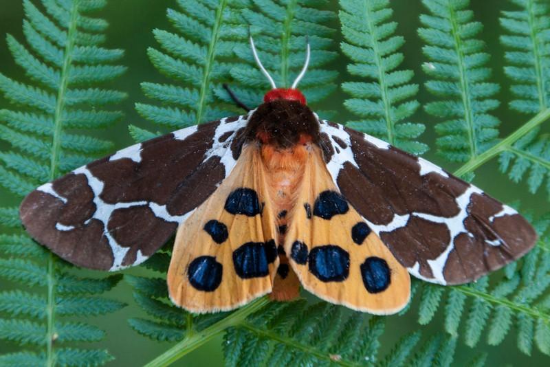Tiger Moth - Great - (Arctia caja) - Dunning Lake - Itasca County, MN