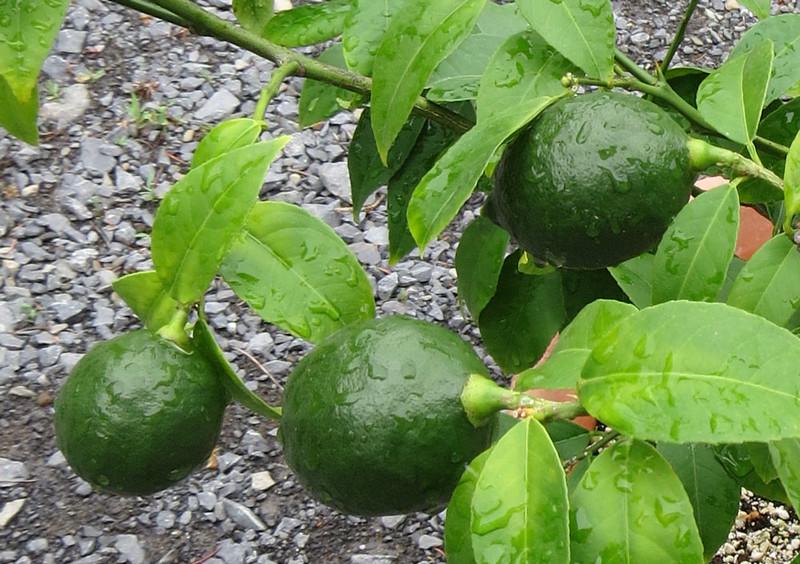 Limes-May-19thCU.jpg