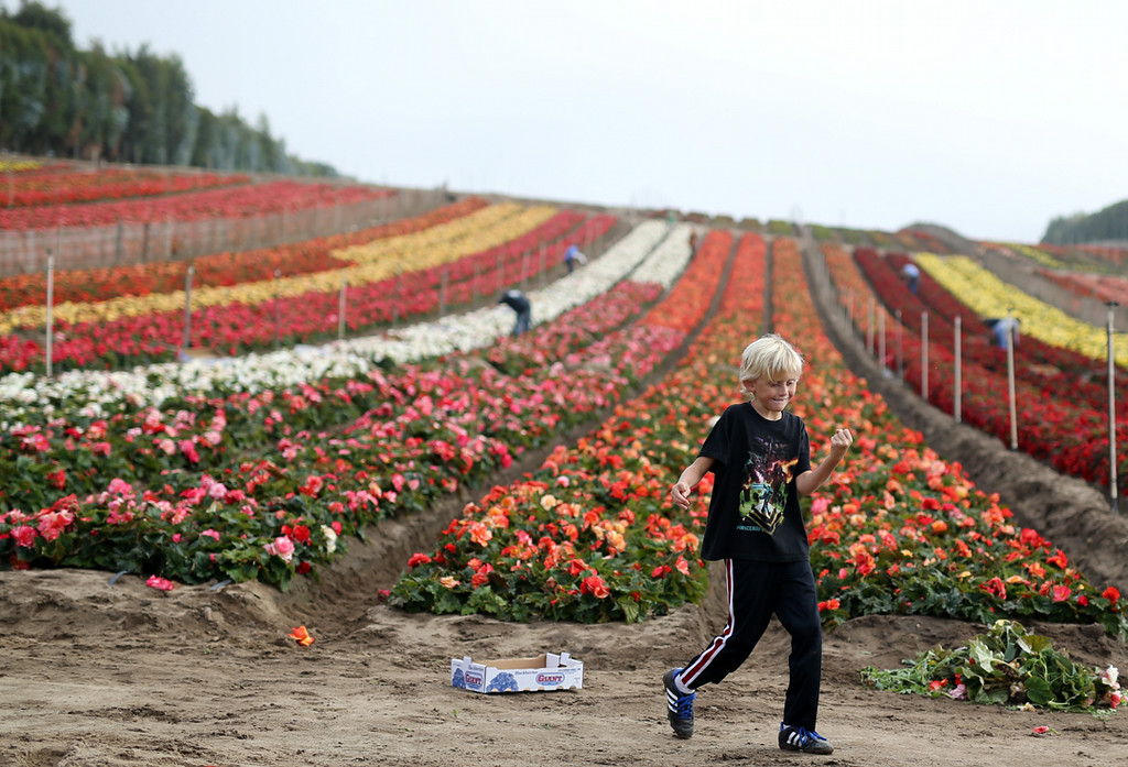 . Grant Schiff, 10, dances amongst acres of colorful begonias in Matina on Saturday. (Kevin Johnson -- Santa Cruz Sentinel)