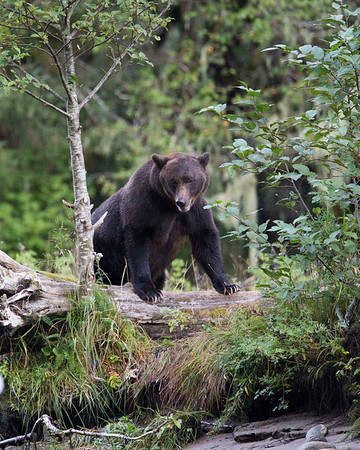 The spirit bear rain forest of British Columbia