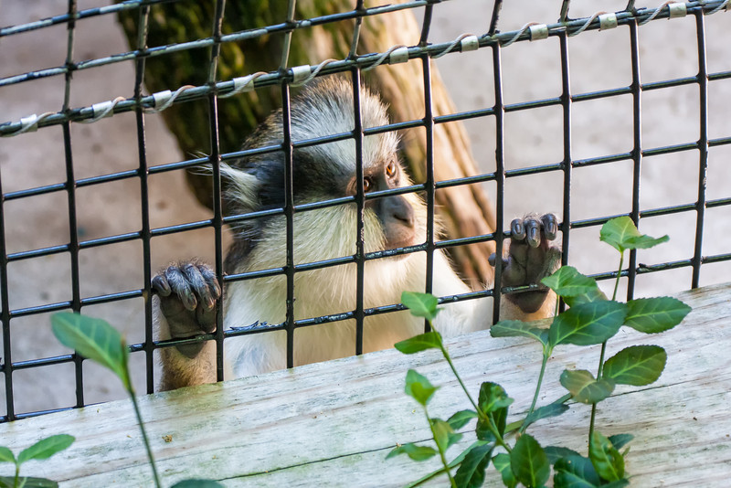 Gary's Crowned Guenon