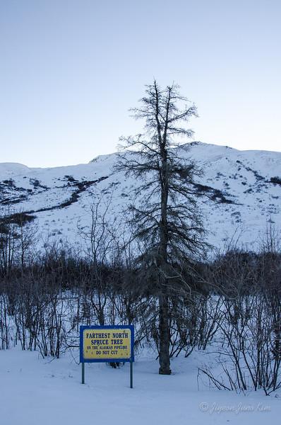 USA-Alaska-farthest-north-spruce.jpg