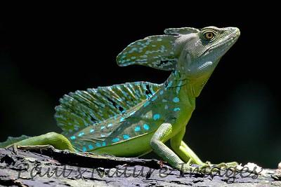 Emerald-basilisk Lizard