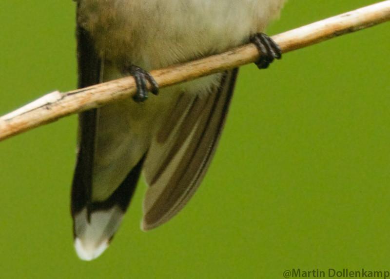 Ruby-throated Hummingbird wing closeup.