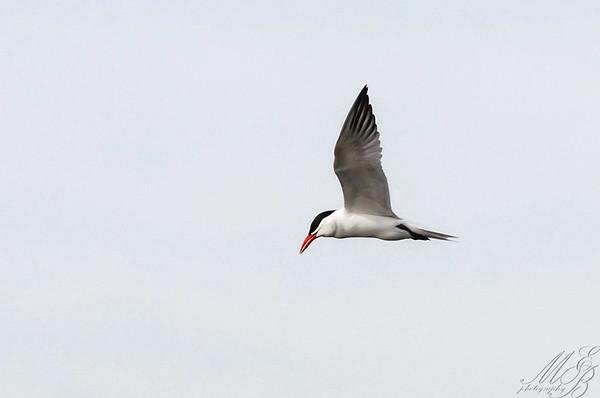 Gulls, Terns, Skimmers and Kin