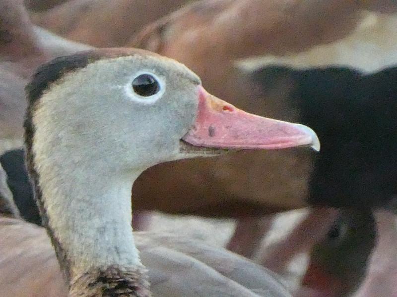 Whistling duck, Stuart, Florida