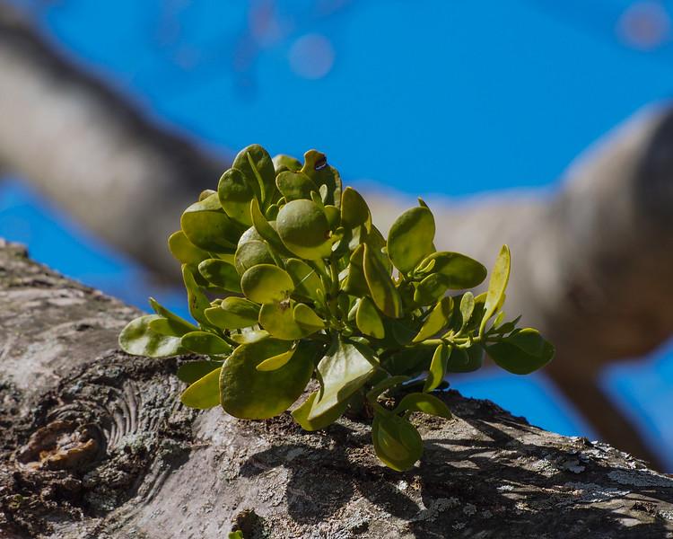 Eastern mistletoe on Northern Red Oak